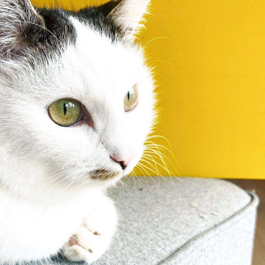 Katze Grey